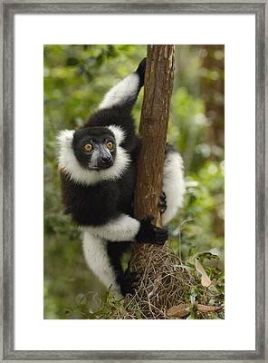 Black And White Ruffed Lemur Madagascar Framed Print by Pete Oxford