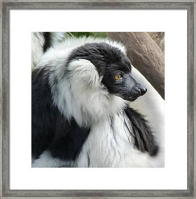 Black And White Ruffed Lemur Framed Print by Margaret Saheed