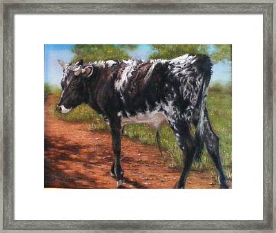 Black And White Shorthorn Steer Framed Print