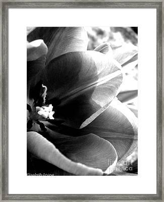 Black And White Tulip Framed Print by Elizabeth Fredette