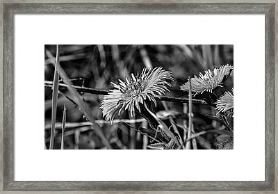 Black And White Tussilago Farfara Sign Of Spring. Framed Print by Leif Sohlman