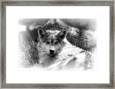 Black And White Wolf Stare Framed Print by Dan Sproul