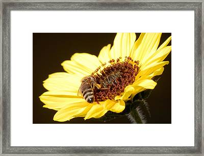 Black And Yellow Bee Beauty Framed Print