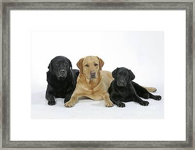 Black And Yellow Labradors With Puppy Framed Print by John Daniels