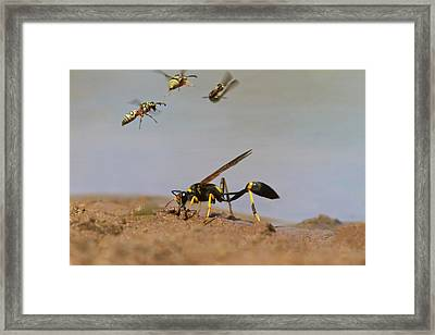 Black-and-yellow Mud Dauber (sceliphron Framed Print