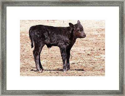 Black Angus Calf Standing In Pasture Framed Print by Piperanne Worcester