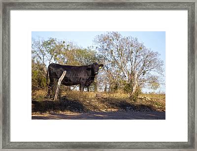 Black Angus On Range Land Framed Print