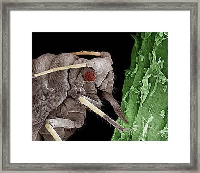 Black Aphid Feeding On Sap Framed Print