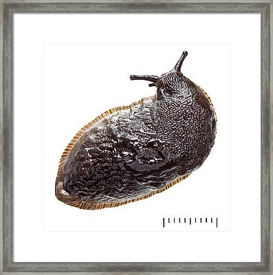 Black Arion Framed Print by Natural History Museum, London