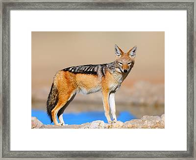 Black-backed Jackal Framed Print by Johan Swanepoel