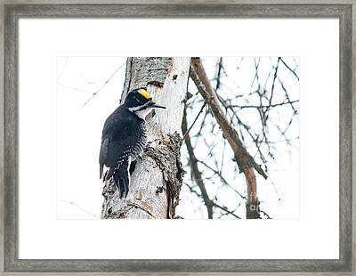 Black-backed Woodpecker Framed Print by Cheryl Baxter