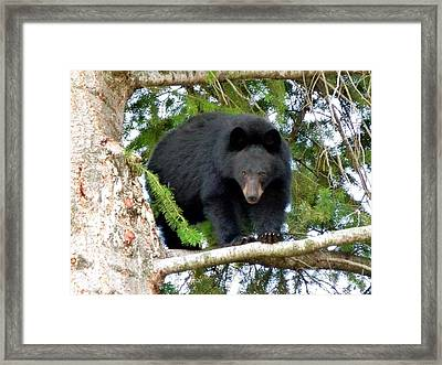 Black Bear 2 Framed Print