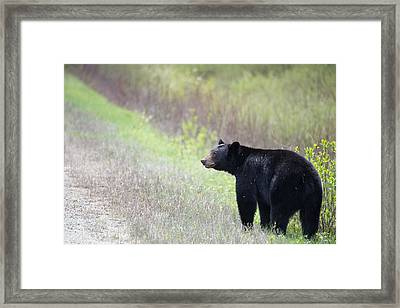 Black Bear 3 Framed Print by Andy Fung