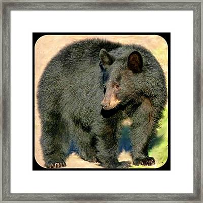 Black Bear 3 Framed Print