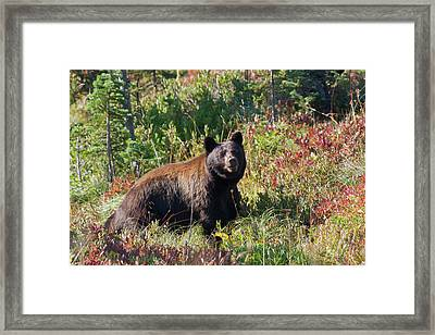 Black Bear, Autumn Berry Country Framed Print