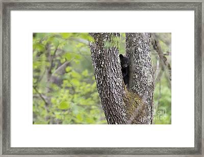 Black Bear Cub In Fork Of Tree Framed Print by Dan Friend