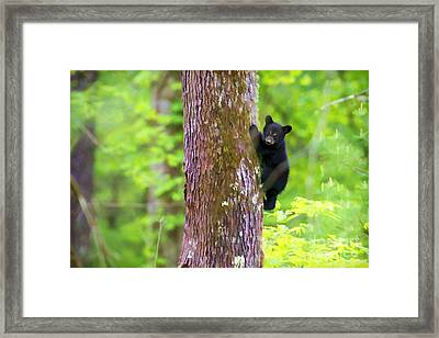 Black Bear Cub In Tree Framed Print by Dan Friend