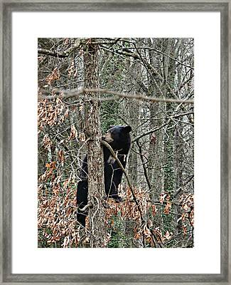 Black Bear Cub Framed Print