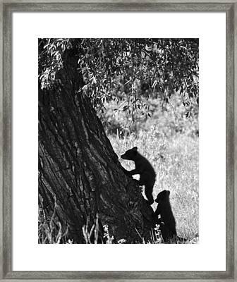Black Bear Cubs Climbing A Tree Framed Print
