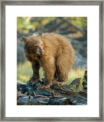 Framed Print featuring the photograph Black Bear by Doug Herr