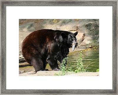 Black Bear Fishing Framed Print by Angela Rath