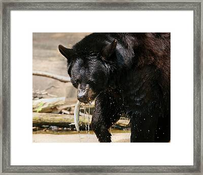 Black Bear Hunting Framed Print by Angela Rath