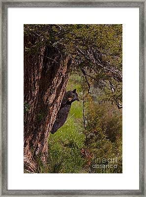 Framed Print featuring the photograph Black Bear In A Tree by J L Woody Wooden