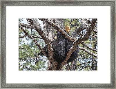 Black Bear In A Tree Framed Print
