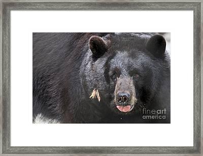 Black Bear Framed Print by Meg Rousher