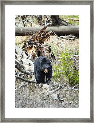 Black Bear Framed Print