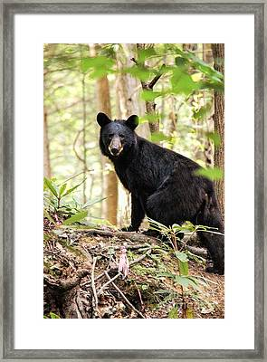 Black Bear Smile Framed Print by Debbie Green