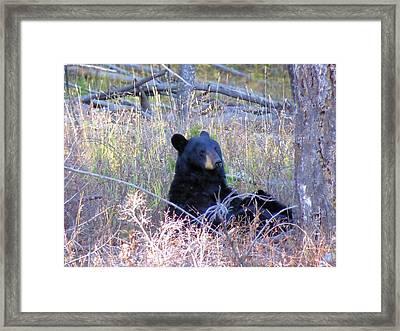 Black Bear Sow Nursing Her Cubs Framed Print by Jeff Swan