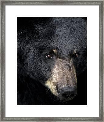 Black Bear Framed Print