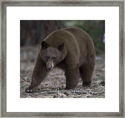 Black Bear Framed Print by Tom Wilbert