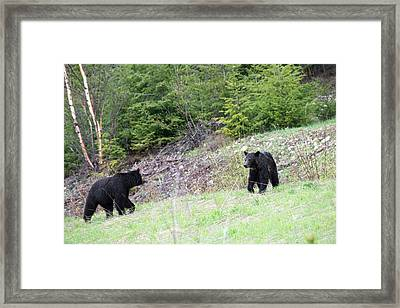 Black Bears In Motion Framed Print by Andy Fung
