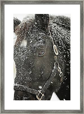 Black Beauty In A Blizzard Framed Print by Carrie Ann Grippo-Pike