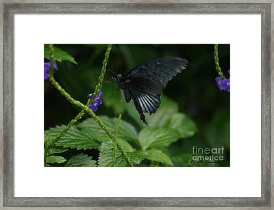 Black Beauty Framed Print by Lorelle Gromus