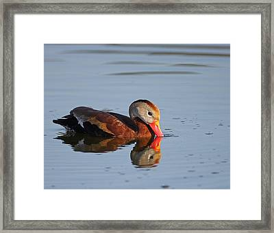 Black-bellied Whistling Duck Framed Print