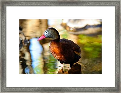 Black Bellied Whistling Duck Framed Print by Bonnie Fink