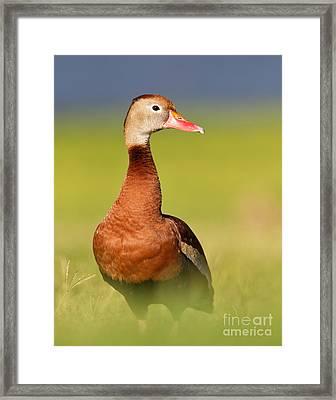 Black-bellied Whistling Duck Framed Print by Joshua Clark