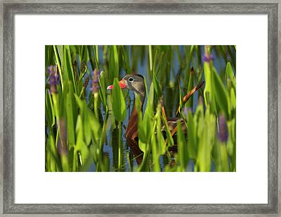 Black-bellied Whistling Duck Framed Print by Maresa Pryor
