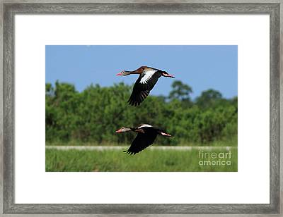 Black-bellied Whistling Ducks Framed Print by Jennifer Zelik