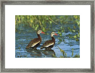 Black-bellied Whistling Ducks Wading Framed Print