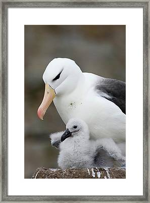 Black-browed Albatross And Chick Framed Print by Suzi Eszterhas