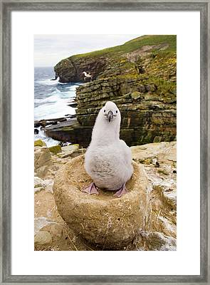 Black-browed Albatross Chick Falklands Framed Print