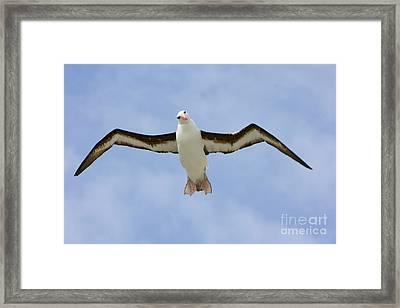 Black-browed Albatross Flying Framed Print by Yva Momatiuk John Eastcott