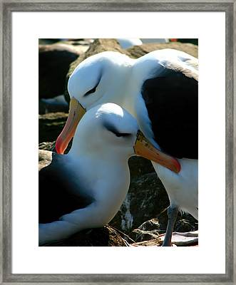 Black Browed Albatross Pair Framed Print by Amanda Stadther