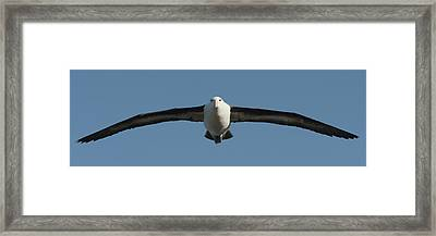 Black-browed Albatross Thalassarche Framed Print