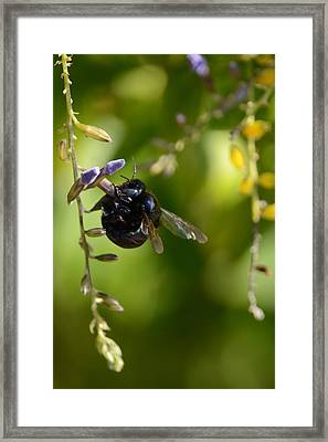 Black Bumblebee Framed Print by Debra Martz