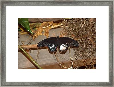 Black Butterfly Framed Print by Aimee L Maher Photography and Art Visit ALMGallerydotcom